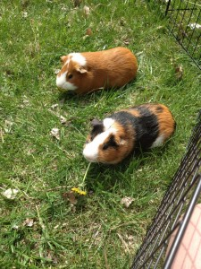 Vance (brown and white) Maccoy (tricolored)